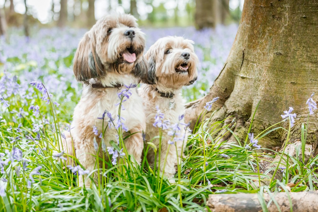 Two Bolonka dogs sitting in a the grass surrounded by bluebell shoots and next to a tree trunk posing for the camera at Whippendell Woods taken by Hertfordshire family photographer Natalie Chiverton Photography
